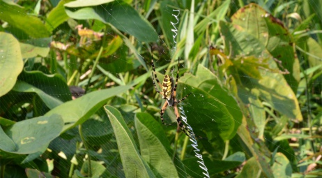 Phinizy Swamp, araignée