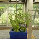 Washington D.C., Botanic Garden - Stevia !