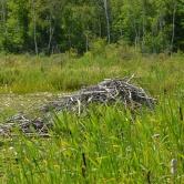 Acadia, refuge des castors