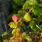 Cape Cod, Poison Ivy
